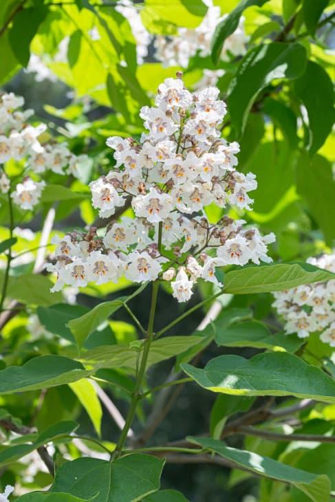 31168488 catalpa bignonioides flowers