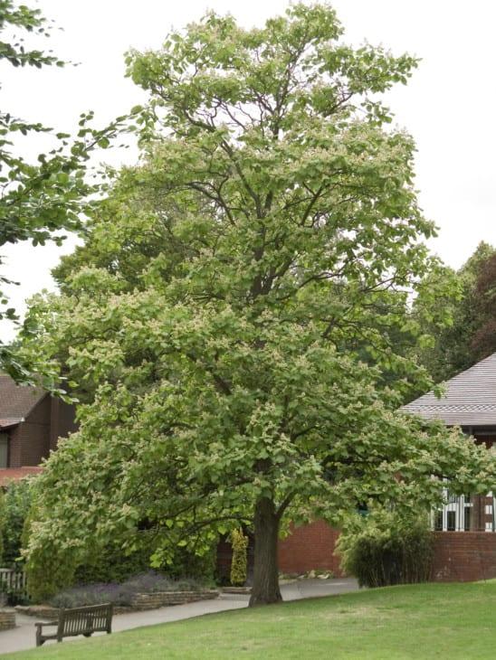 Catalpa ovata tree