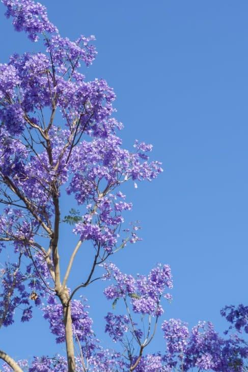 Colourful blooming jacaranda tree