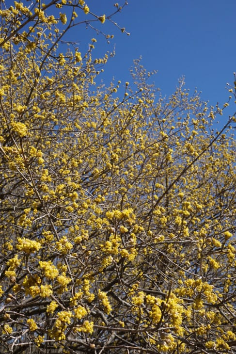 Cornus mas Cornelian cherry