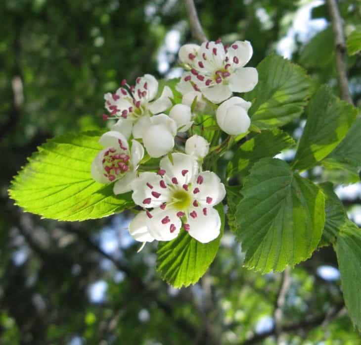 Crataegus punctata flowers