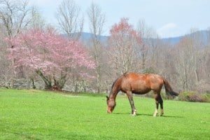 Domesticated horse grazing in a spring pasture in the mountains of North Carolina