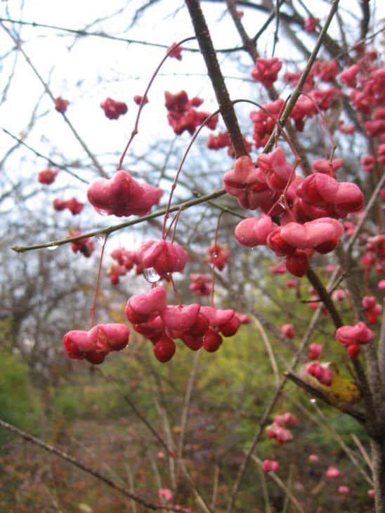 Eastern Wahoo fruits Euonymus atropurpureus