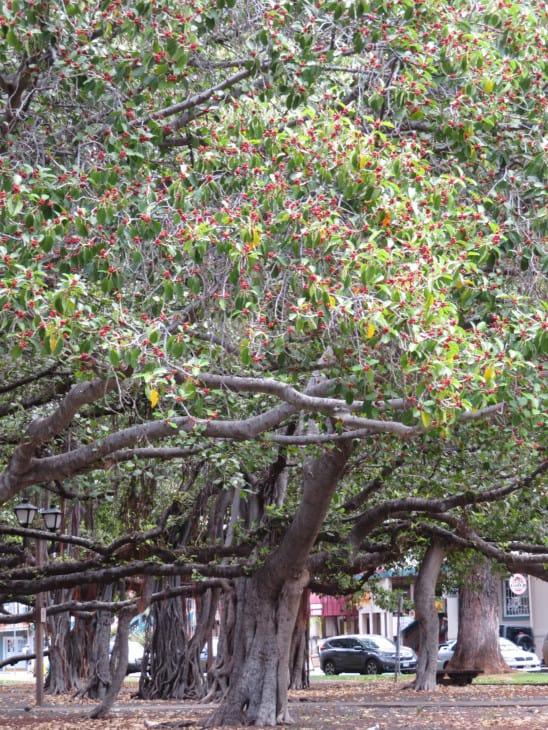 Ficus benghalensis Indian banyan tree