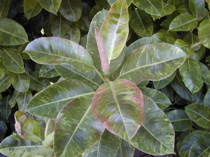 Ficus elastica Decora