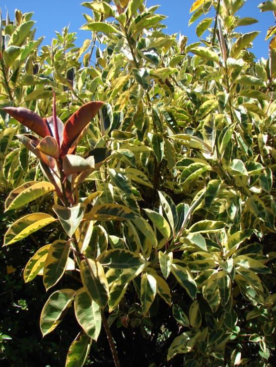 Ficus elastica variegated