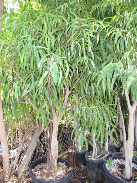 Ficus maclellandii ficus alii