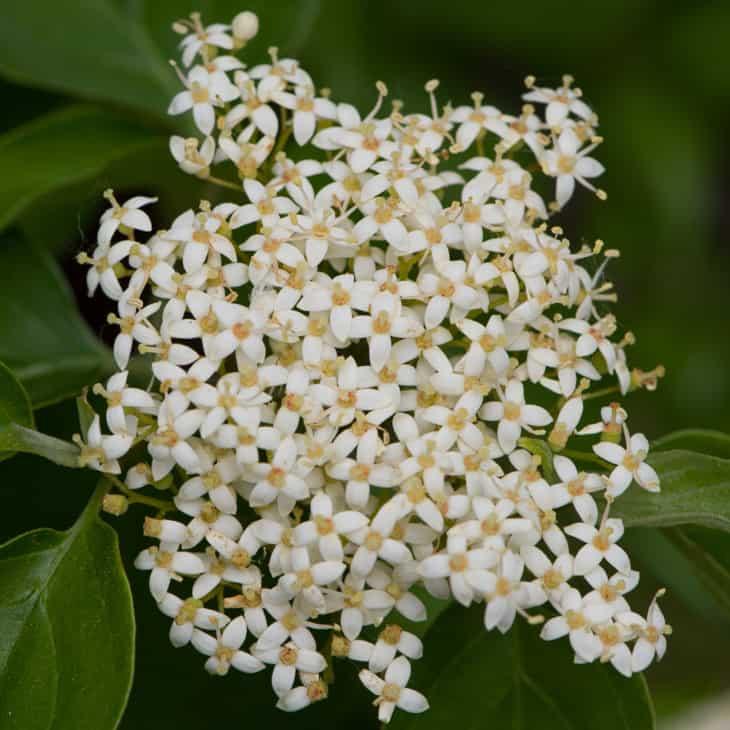 Flower cluster of Roughleaf dogwood Cornus drummondii