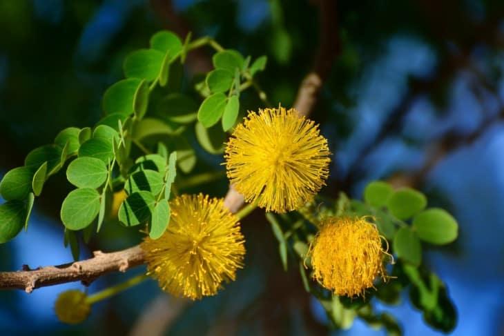 Golden lead ball tree Leucaena retusa