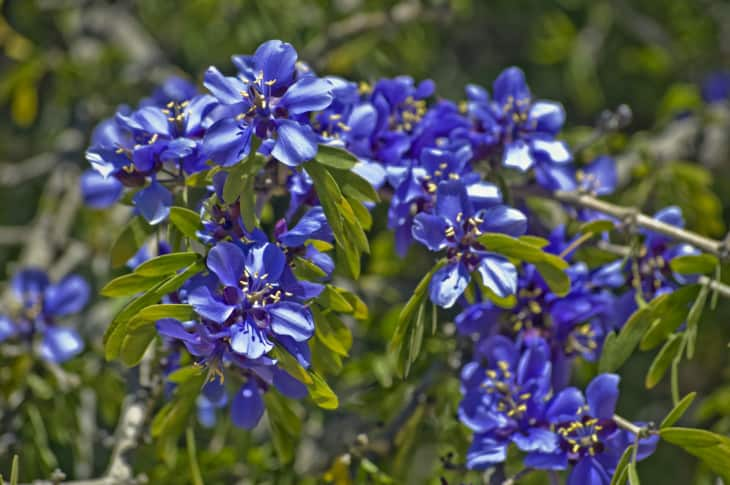 Guayacan Blossoms