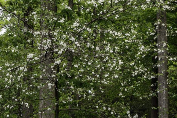 Halesia diptera var. magniflora .