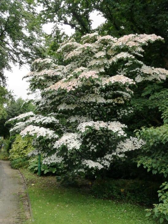 Kousa dogwood tree cornus kousa