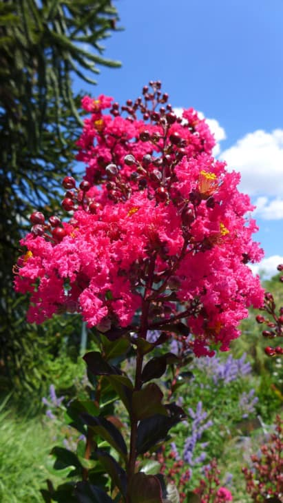 Lagerstroemia indica Pink Velour