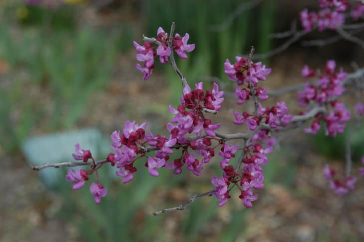 Mexican Redbud flowers