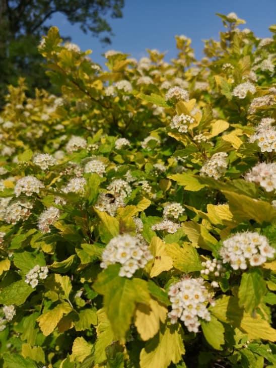 Ninebark Physocarpus opulifolius