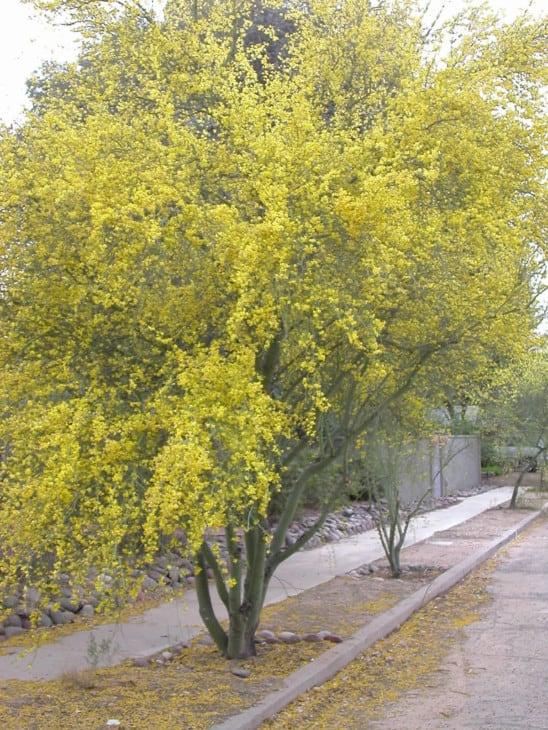 Palo Verde in Bloom.