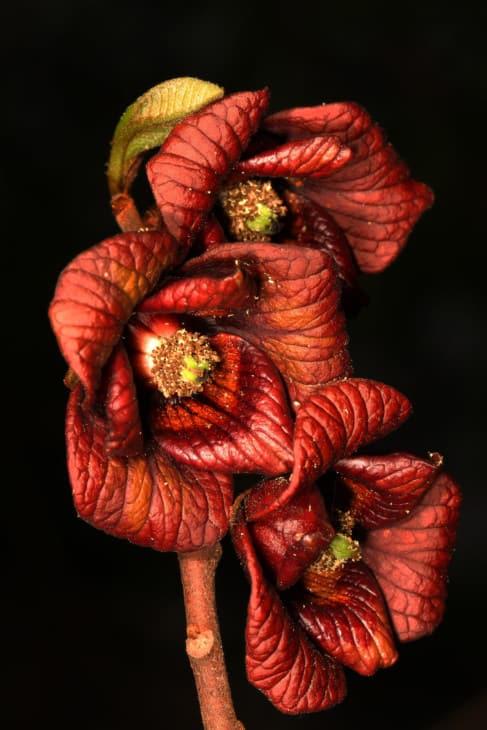 Pawpaw blossoms Asimina triloba