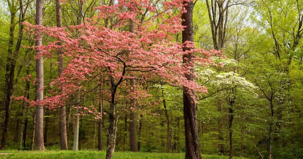 Pink and white dogwoods in bloom in Kentucky