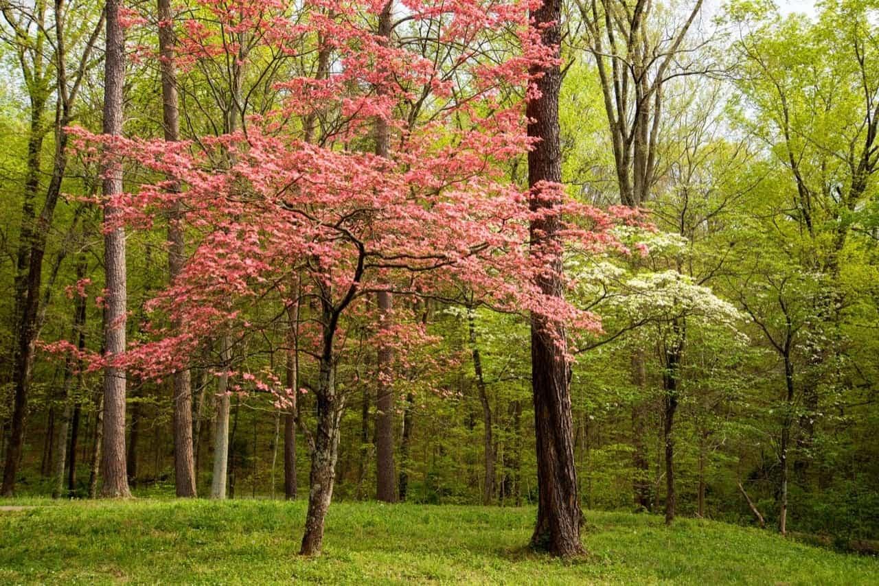 12 Common Flowering Trees For Kentucky Gardens Progardentips