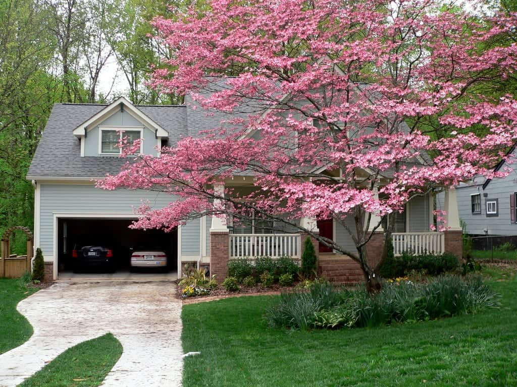 Pink dogwood in Decatur Georgia