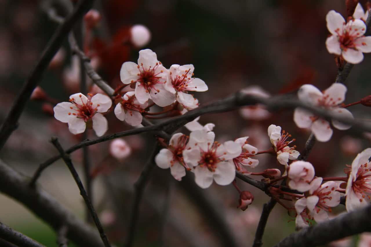 Prunus cerasifera Newport