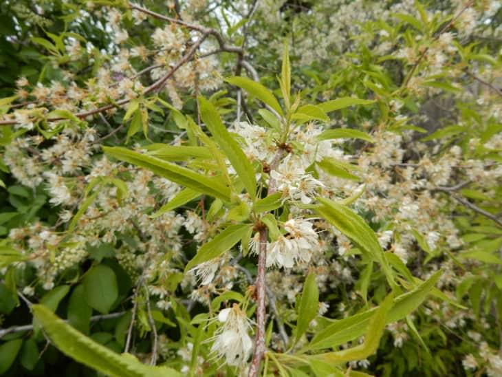 Prunus pensylvanica.
