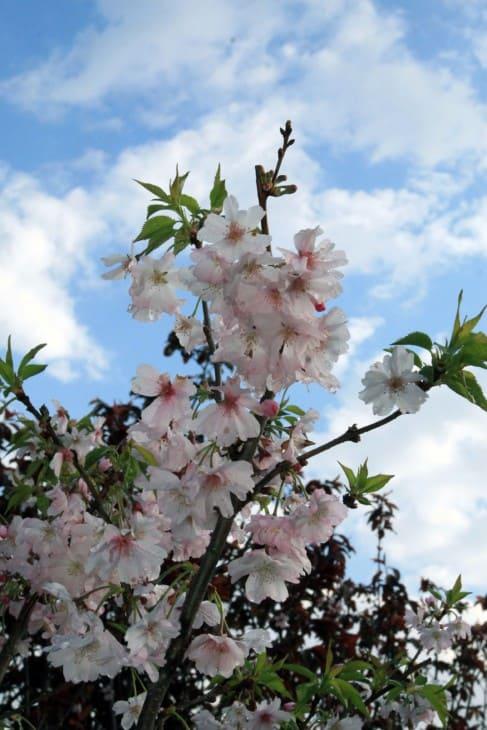 Prunus subhirtella Autumnalis.