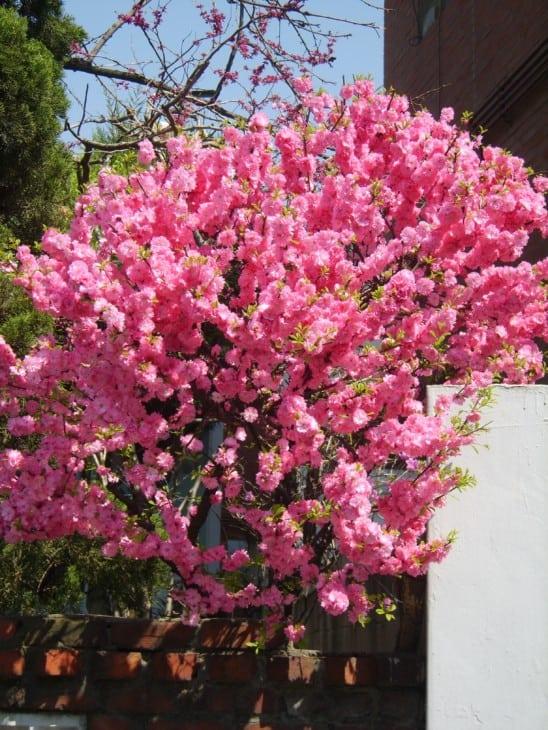 Prunus triloba blooms
