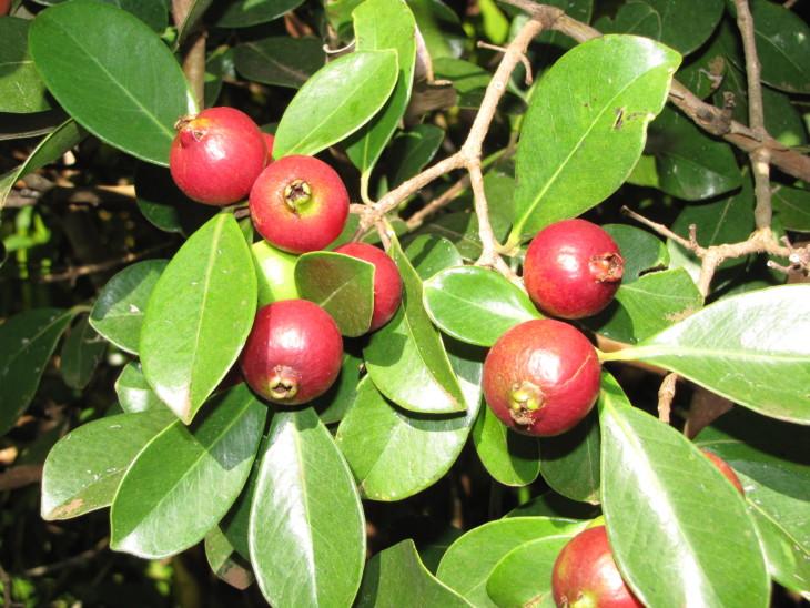 Psidium cattleianum Strawberry guava.