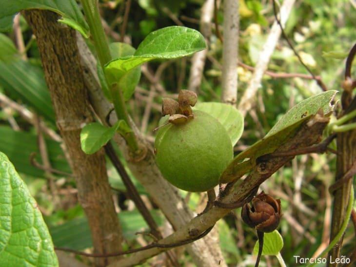 Psidium guineense