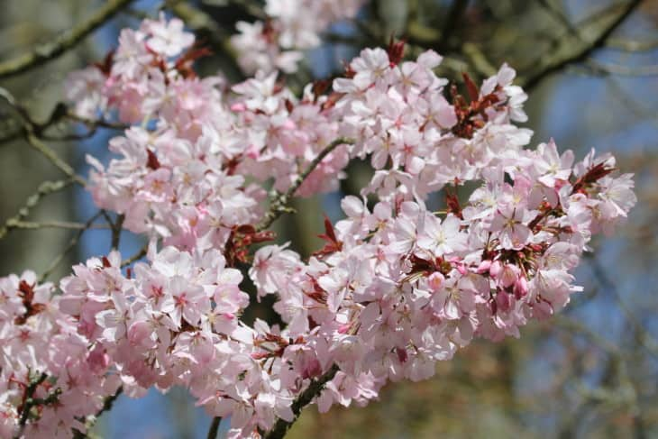 Sargents Cherry Prunus Sargentii