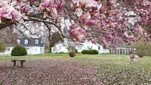 Saucer Magnolia in bloom at Caledon State Park Virginia