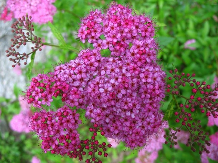 Spiraea japonica.