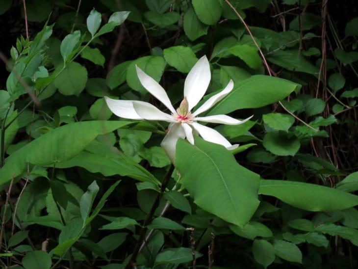 Umbrella Magnolia Magnolia tripetala
