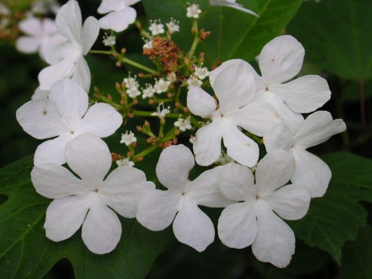 Viburnum trilobum flowers