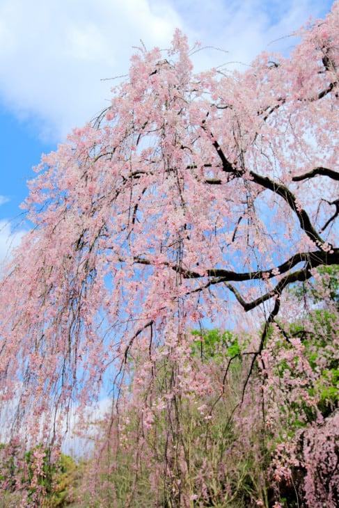 11826730 weeping sakura tree