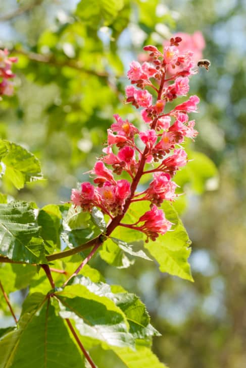 Aesculus x carnea or Red horse chestnut flower 1