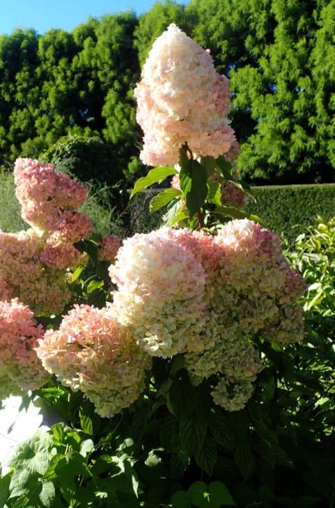 Hydrangea paniculata Renhy