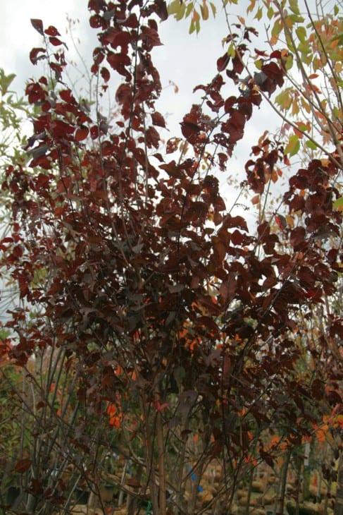 Prunus cerasifera Krauter Vesuvius.