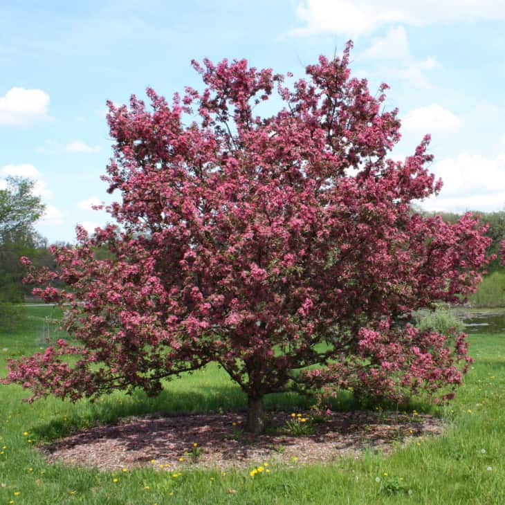 Purple Prince Crabapple Malus Purple Prince