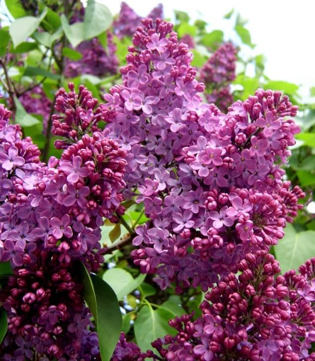 Syringa vulgaris.