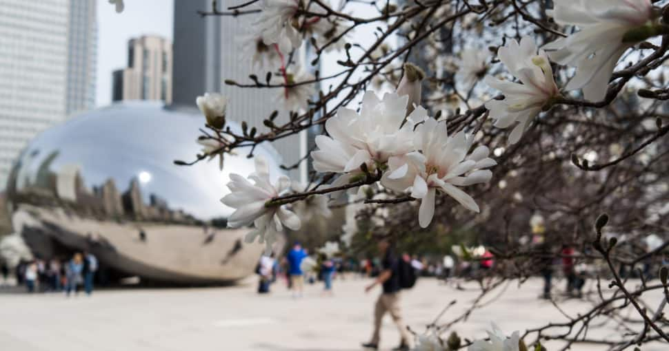 The Bean sculpure and tree blossoms in Chicagos Millennium Park