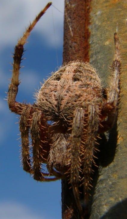 Barn spider Araneus cavaticus