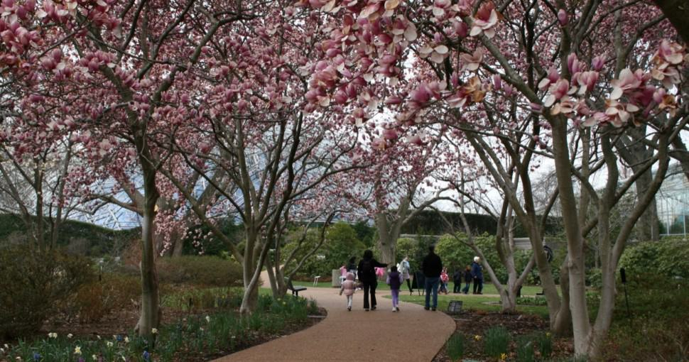 Blossoming Magnolia trees in St. Louis Botanical Gardens Missouri
