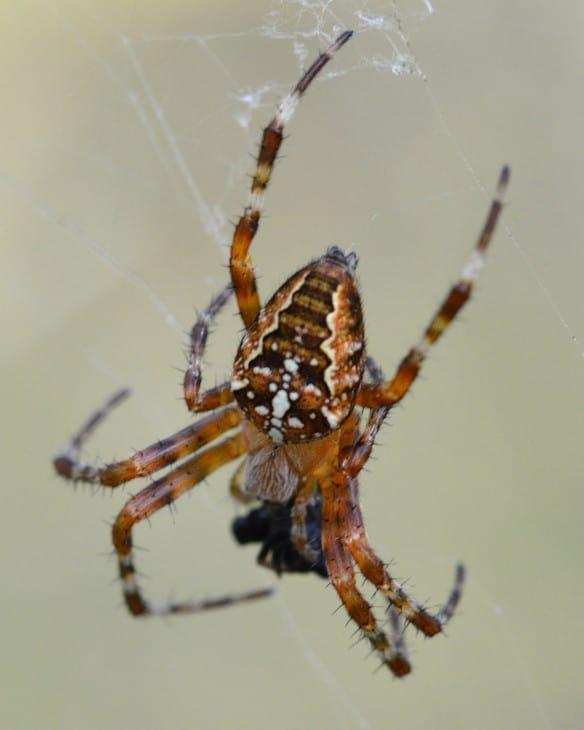 Cross Orbweaver Araneus diadematus