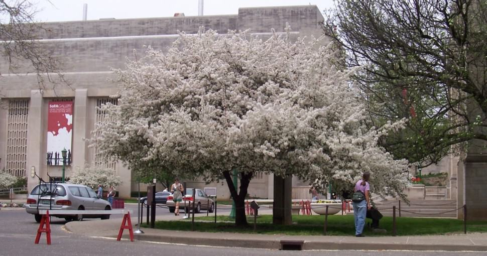 Flowering tree in front of the Fine Arts Building in Bloomington, Indiana