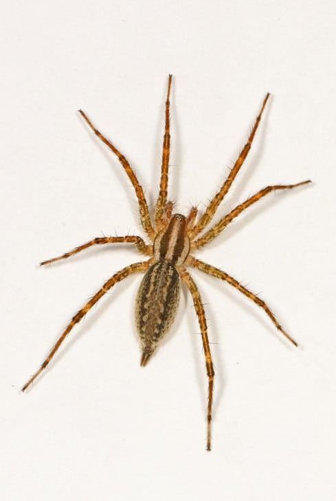 Grass Spider Agelenopsis