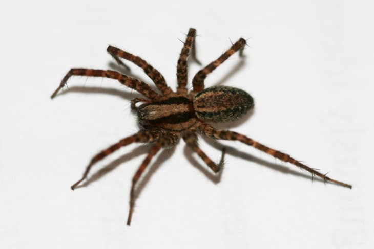 Grass spider Hololena