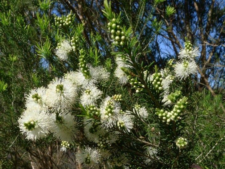 Melaleuca ericifolia.