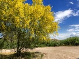 Palo Verde in full bloom near Phoenix Arizona
